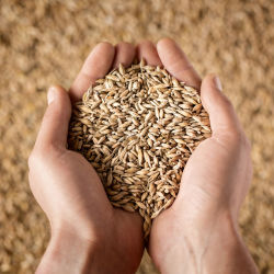 Close up of a person's hands holding wheat grains