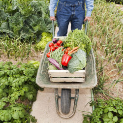 A farmer harvesting his crops and pushing vegetables in a wheel barrel